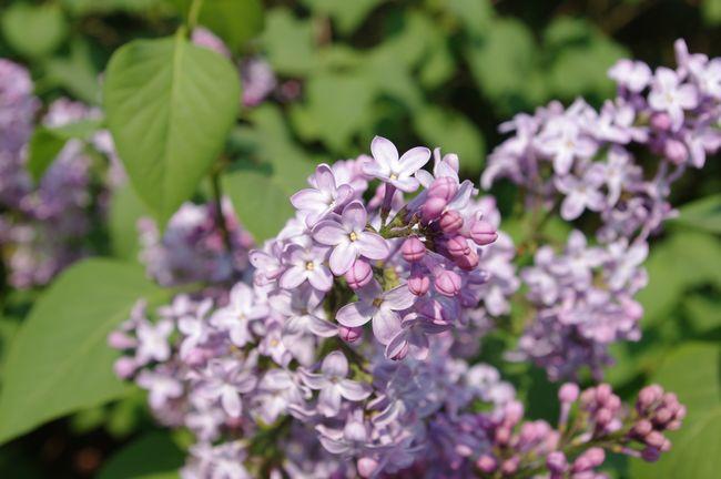 bloem-paars